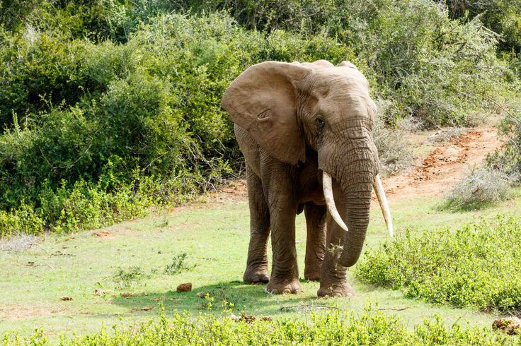 Take this side African Bush Elephant Lonely old male Elephant with huge trunks.