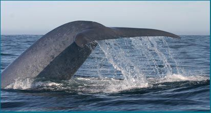 Ecomarine Puñihuil - Puñihuil-Blue Whale Watching!!!