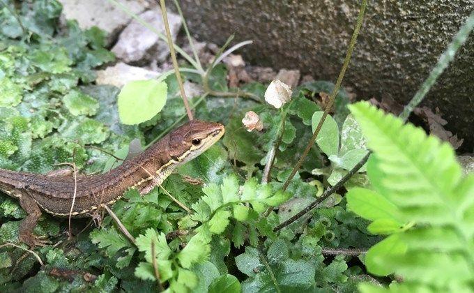 カナヘビとは 生態と特徴 飼育方法を紹介 捕まえ方やトカゲとの違いは Woriver カナヘビ トカゲ 両生類