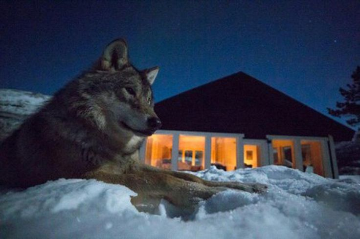 Stay at Wolf Lodge in Polar Park, Narvik in Northern Norway