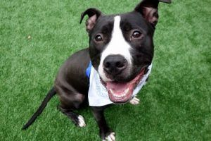 My name is MANCHAS. My Animal ID # is A1112669. I am a neutered male black and white am pit bull ter mix. The shelter thinks I am about 8 MONTHS old. I came in the shelter as a OWNER SUR on 05/20/2017 from NY 11220, owner surrender reason stated was LLORDPRIVA.