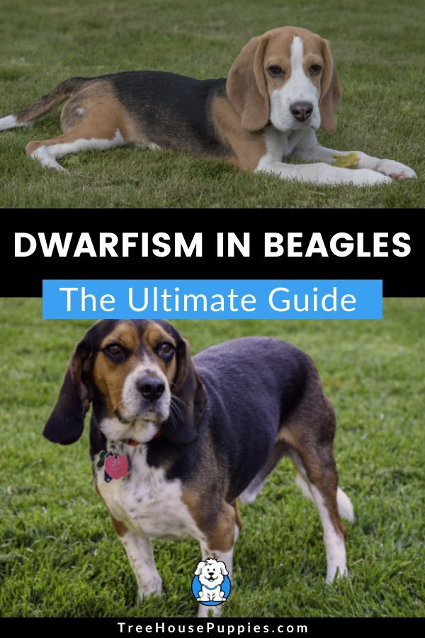 Dwarfism In Beagles Guide Information Treehousepuppies