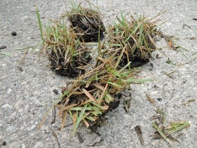 Zoysia Grass Plugs: Directions For Planting Zoysia Plugs