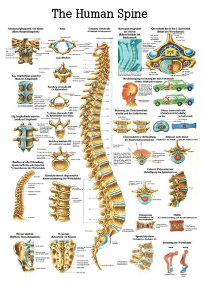 AcupunctureShop ApS  The Human Spine | skeletal system | Pinterest