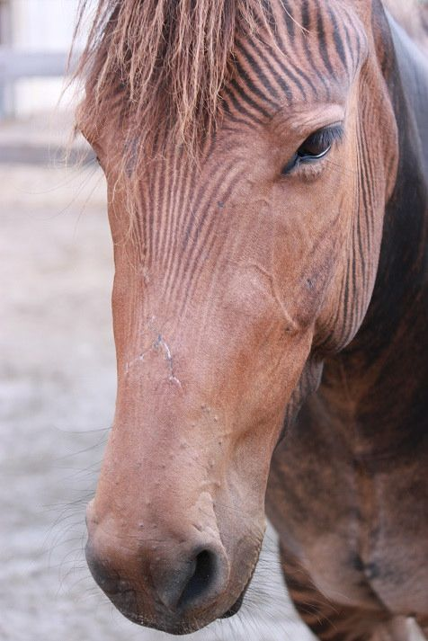 Zorse = Horse + Zebra - photo by Ruwan Alwis, via Flickr; at the Creation Museum, Kentucky