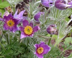 Pulsatilla vulgaris - the Pasque Flower. Softly hairy flowers are carried in spring, upright at first then nodding as the flower ages. The pale to deep purple, bell-shaped flowers have a boss of yellow stamens surrounding a central, purple stigma. Flowers are followed by silky, fluffy seedheads.