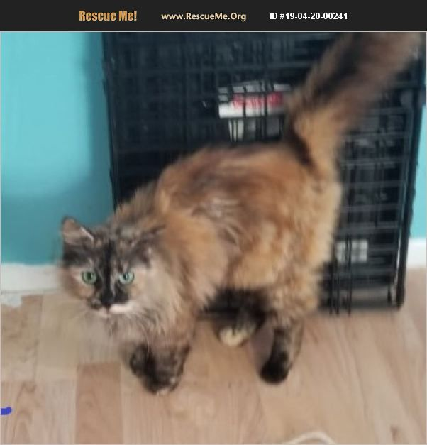 Domestic Cat New Port Richey Fl Domestic Cat Cat Ages Cats