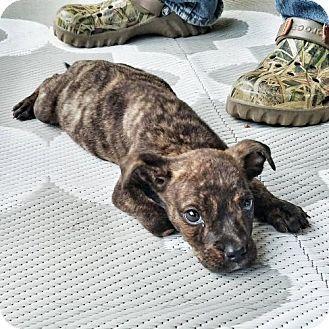 8/23/16 Dallas, GA - Pit Bull Terrier. Meet Sunshine, a puppy for adoption…STILL LISTED 9/7/16
