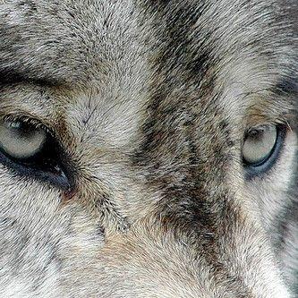 kin-aes: werewolf aesthetic x / x / x / x / x / x