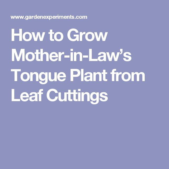 How to Grow Mother-in-Law's Tongue Plant from Leaf Cuttings