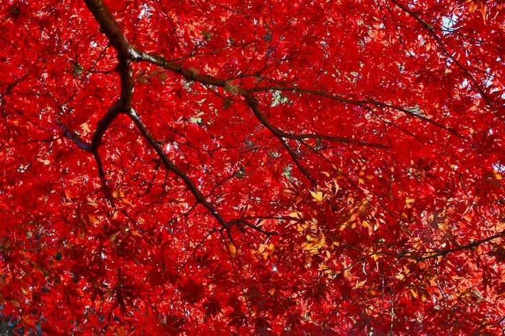 The Best Japanese Maple Trees for Fall Foliage