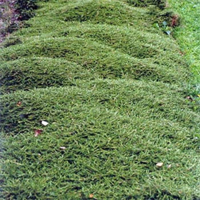 nz native ground covers - Coprosma acerosa Hawera
