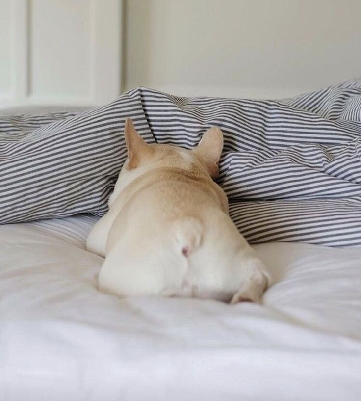 """Nope, not today"", Lazy French Bulldog❤"