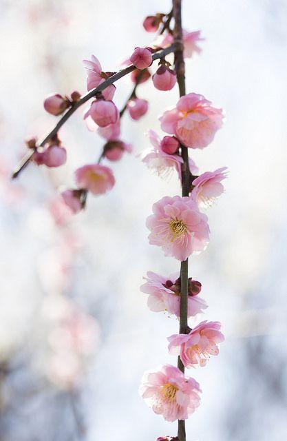 枝垂れ梅 by * Yumi * on Flickr.
