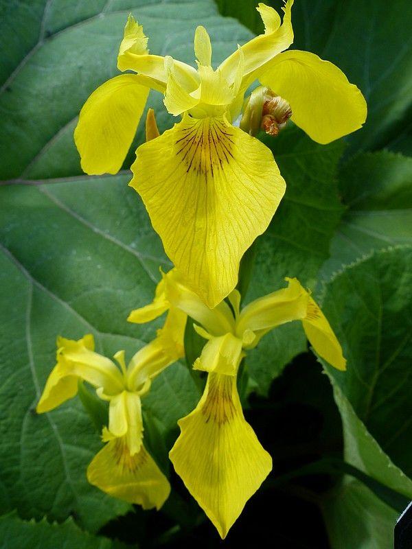 http://faaxaal.forumactif.com/t2200-photo-de-fleur-iris-des-marais-flambe-d-eau-iris-faux-acore-iris-jaune-iris-pseudacorus-yellow-flag#12245