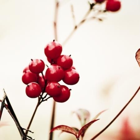 """Print of red winter berries, ruby red seasonal plant photography, 5x5"""" (13x13cm) size. $13.00, via Etsy."""