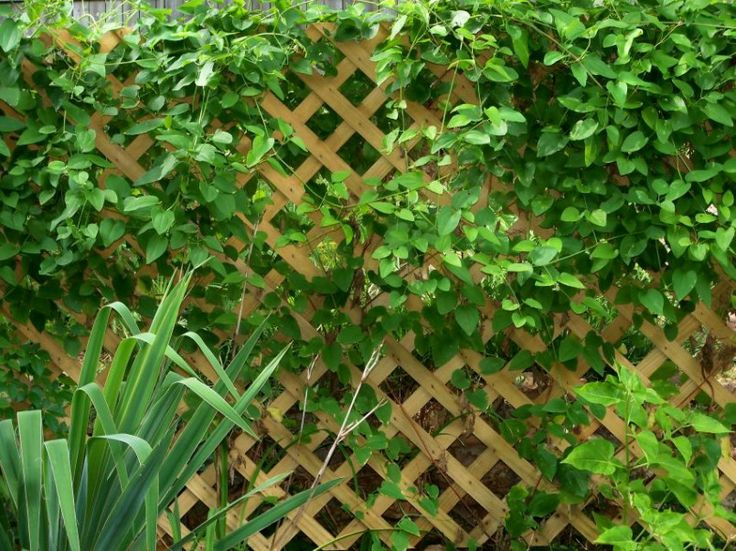 Pool Tip Create Privacy Plant Vines On A Pergola