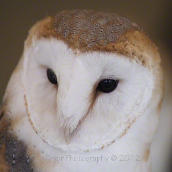 "Tim Pryor - Barn Owl's are one of my favourites and this is a close up portrait of this beautiful bird. The image is available as a 10"" x 10"" Limited Edition Canvas (1/250) with the surface laminated for ultimate protection! £60.00"