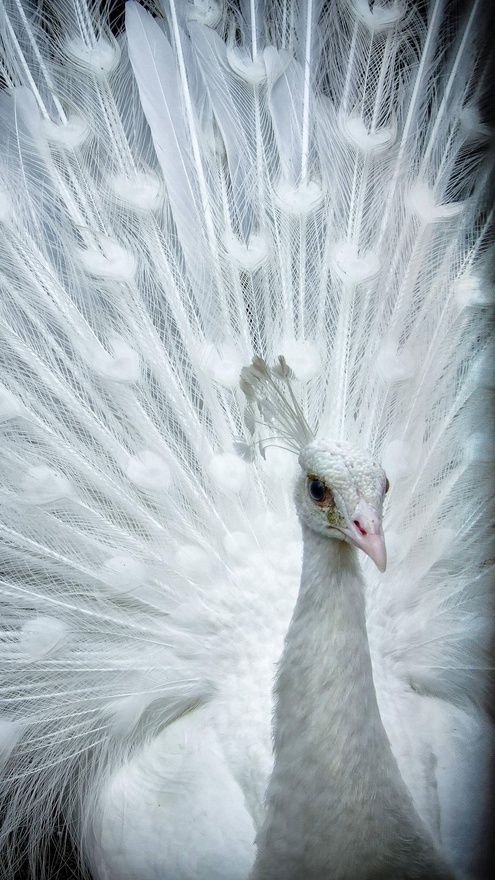 """When I was little I say one of these & I said to my dad, """"look an adobe peacock!"""" haha, no it's an albino & I almost like them better than normal peacocks. This is a lovely photo."""