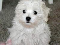 Excelente perrito maltés para la venta - Animales en General - Todo Puerto Rico