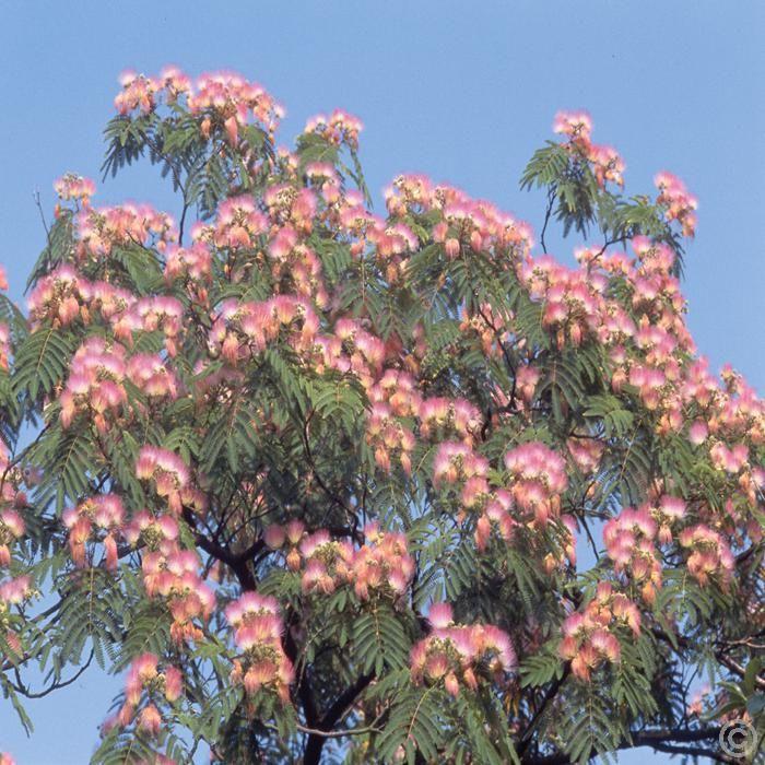 17 best ideas about albizia julibrissin on pinterest bonsai seeds bonsai and japanese bonsai tree. Black Bedroom Furniture Sets. Home Design Ideas