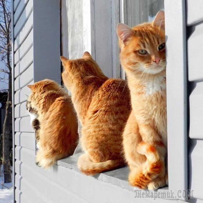 Очень любопытные создания эти коты! И очень любят смотреть в окно. С каким неподдельным интересом они наблюдают за всем происходящим за окном! Или просто кого-то ждут…Смотрим позитивную подборку фото ...