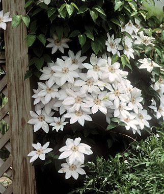 Clematis, Henryi .Full sun, tolerates morning shade.  Blooms for 12 weeks