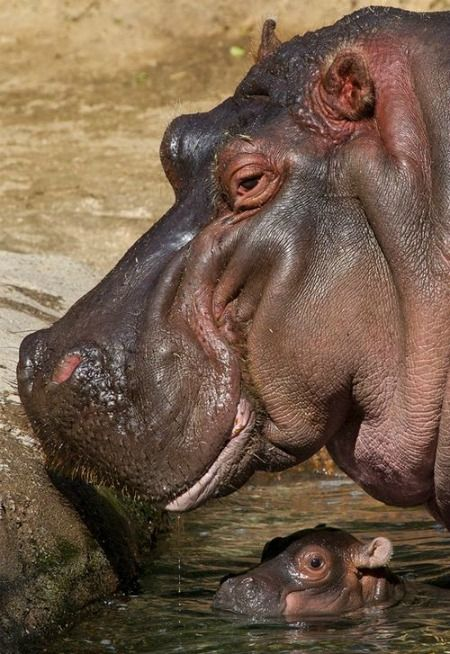 This hippo baby was actually delivered right in front of about 100 guests of the San Diego Zoo.