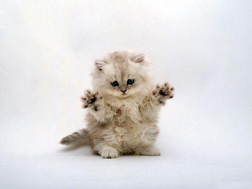just jack!: Jazz Hands, Fingers, Pet, Funny Kittens, Cute Cat, Kitty, Persian Cat, Cute Kittens, Animal