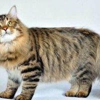 #dogalize Razas Felinas: Gato Siberiano Caracter y Características #dogs #cats #pets