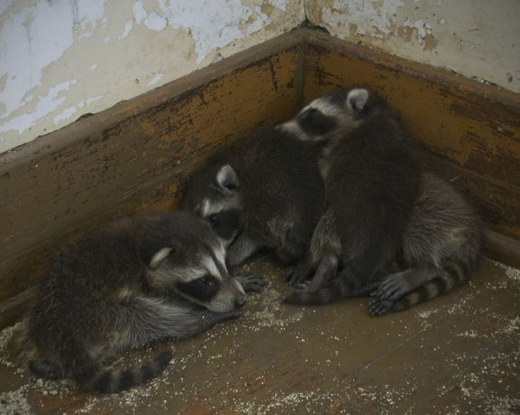 how to trap a raccoon in your attic