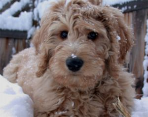 Goldendoodle Puppies For Sale in Minnesota MN Breeders Goldendoodles
