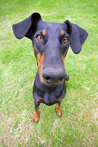 Dobermann, Weitwinkel - Hundefoto, Hundebild