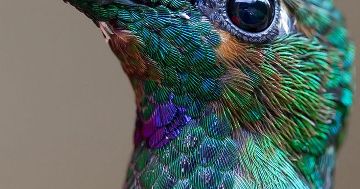 """Si pensamos en aves y en los términos """"fuertes"""" o """"bellas"""" las primeras imágenes que se nos vendrían a la mente serían de águilas feroces o loros tropicales. Pero estos dos pájaros sin duda encontrarán un fuerte contendiente en los colibríes, que poseen una especie única de belleza delicada y un dominio de las maniobras áreas como ningún otro animal. Estas fotos capturan la belleza y el poder de vuelo que tienen estos diminutos animales, que puede llegar a ser todo un reto tomar una foto de…"""