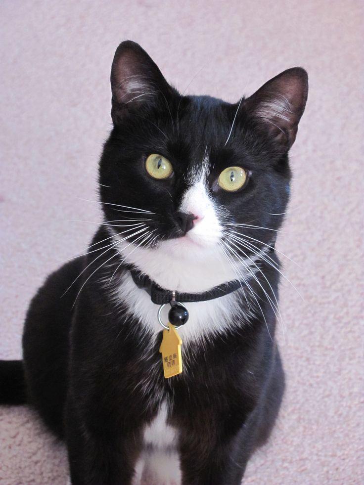 tuxedo Munchkin kitten | My Past Kittens | Munchkin cat ...  |Tuxedo Munchkin Cat Kittens