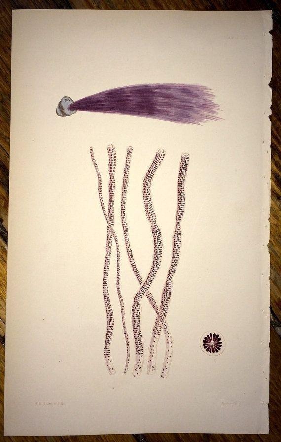 1846 purple seaweed original antique ocean flora lithograph print - sea weed