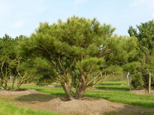Pinus densiflora 'Umbraculifera' #tree #multitrunk #multistem www.vdberk.co.uk