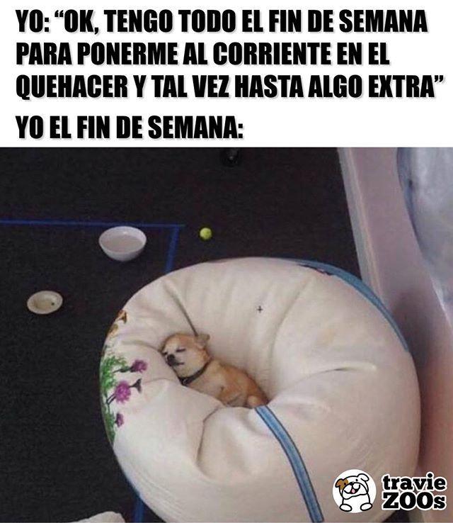 Cuantos Iniciaron La Semana Con Mas Pendientes De Lo Esperado Dogs Perros Sleep Chihuahua Ca Memes De Perros Chihuahua Memes Divertidos Chistes Graciosos