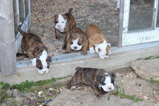 Litter Of 9 English Bulldogge Victorian Bulldog Mix Puppies For