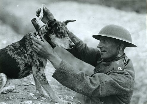 World War I - This WW I British soldier of the Royal Engineers is attaching a battlefield message to a brave messenger dog.