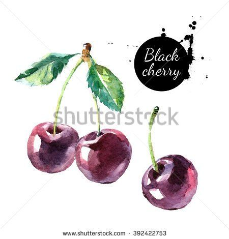 Hand drawn painting black cherry on white background. Watercolor illustration of berries
