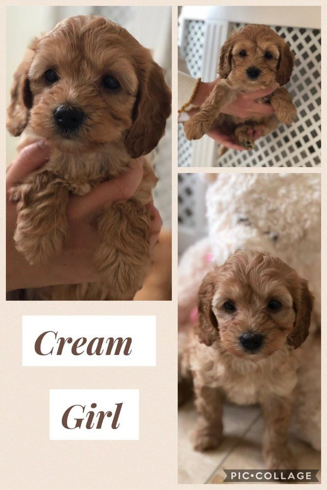 F1b Cockapoo Puppies For Sale In Surrey Preloved Cockapoo
