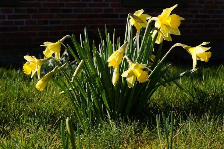 Most ültessük el a tavasszal nyíló hagymás virágokat