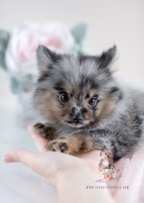 Beautiful blue merle Pomeranian puppy by TeaCupsPuppies com