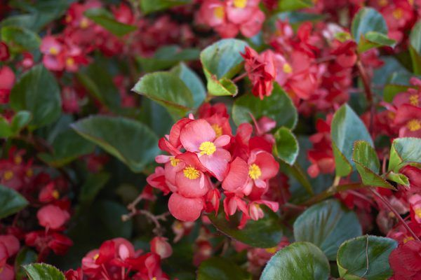 How Often Do Begonias Need To Be Watered Begonia Garden Projects Summer Shade