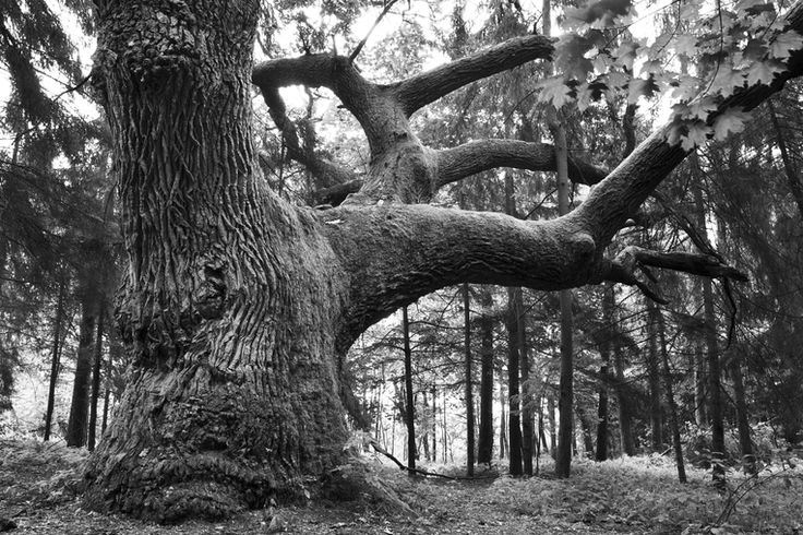 Mighty Oak - b/w - photo-wallpaper