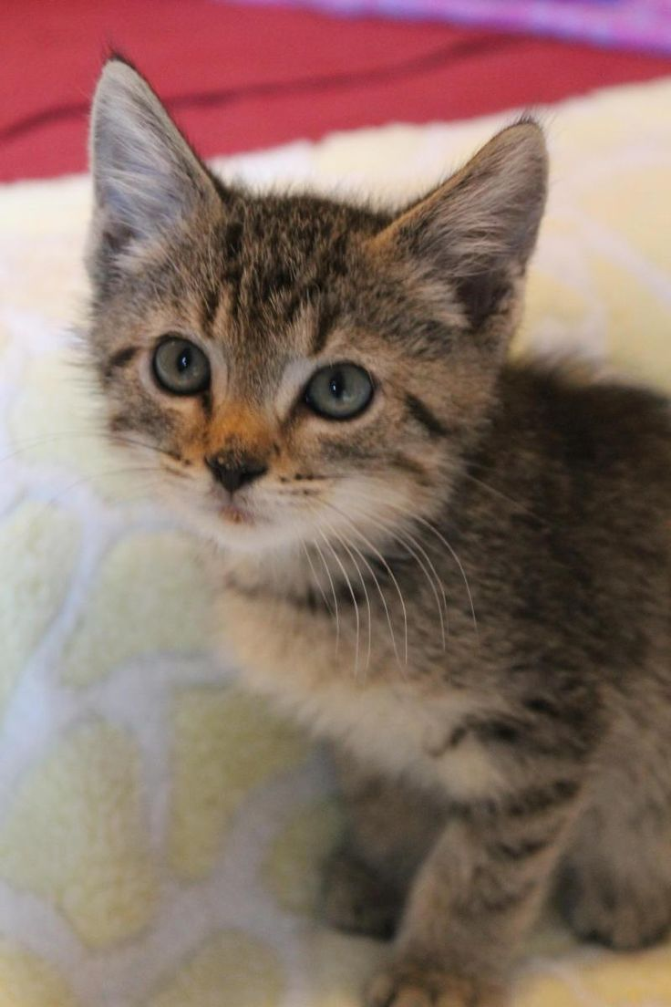 Top Ten Cute Kitten Adoption atlanta