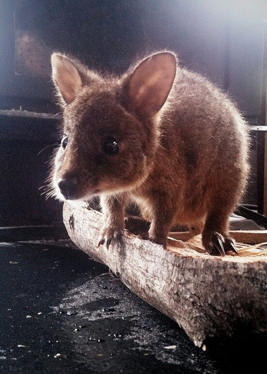 Our newbie Stevie was diagnosed with toxoplasmosis, a disease spread by feral cats. We will miss you little guy! Read more on http://wildoceantasmania.com.au/conservation/    #wildliferehab #Tasmania #Australia