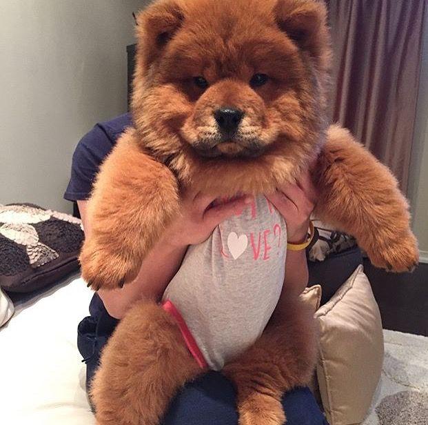 Amazing Teddy Bear Chubby Adorable Dog - 3069e6740f93fcd30d01c1f34cfec9ba  Image_422758  .jpg