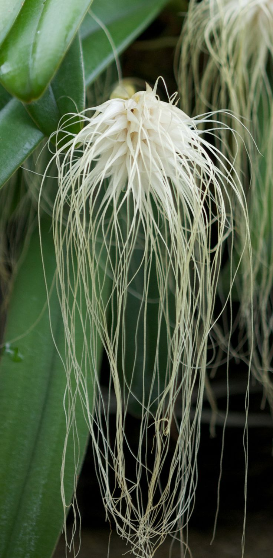 Bulbophyllum Orchidaceae | Bulbophyllum Medusae | Miguel's Orchids